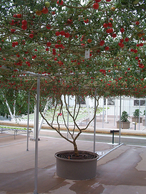 Tomato tree at EPCOT