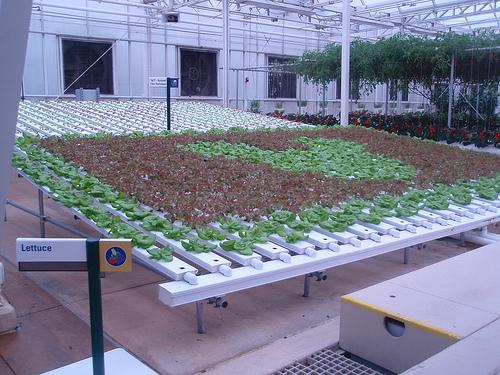lettuce mickey