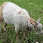 stray-goat