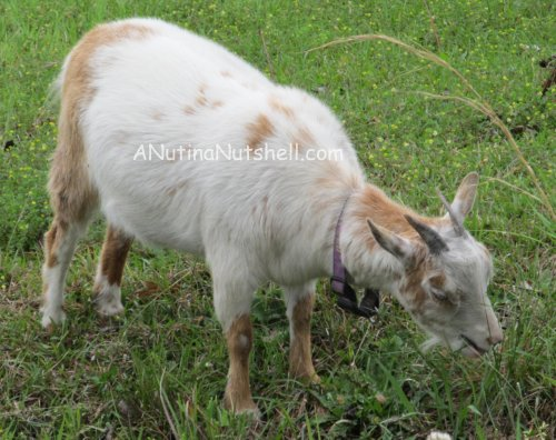 A Goat and Turtle Encounter - WW - Eat Move Make