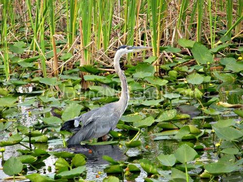 Boggy-Creek-Airboat-rides-birds