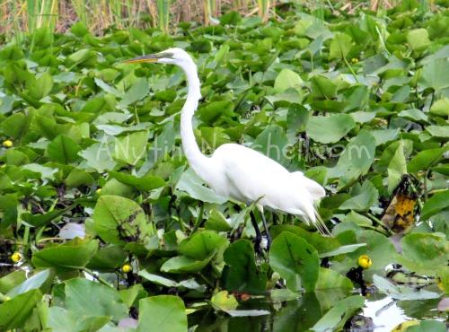 Boggy-Creek-Airboats-wildlife