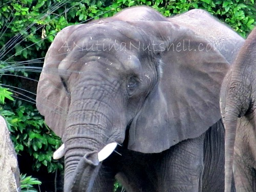 WildAfricaTrek-elephant