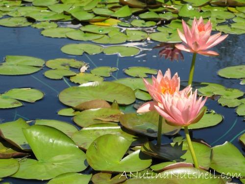 Rodin-Garden-lily-pads-North-Carolina-Museum-of-Art