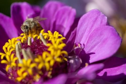 Honey bee worker nectaring on Zinnia