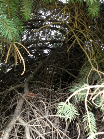 geocaching pine tree limbs