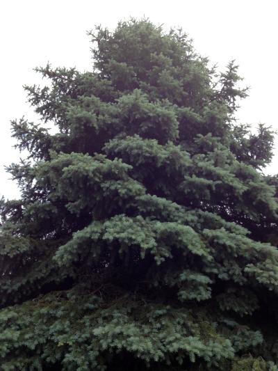 geocaching pine tree