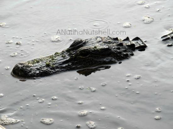 Airboat Adventures - alligator in swamp - New Orleans