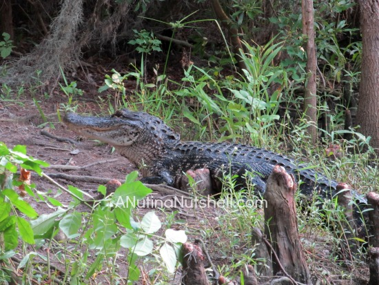 Airboat Adventures - alligator on bank - New Orleans