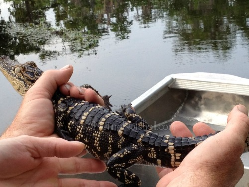 Airboat Adventures - holding baby alligator