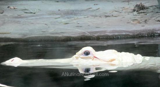 New Orleans aquarium albino alligator
