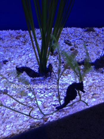 New Orleans aquarium seahorses