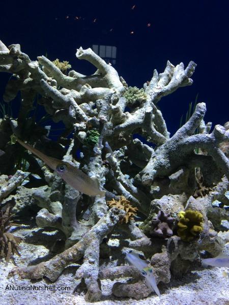 Bigfin Reef Squid - Monterey Bay Aquarium