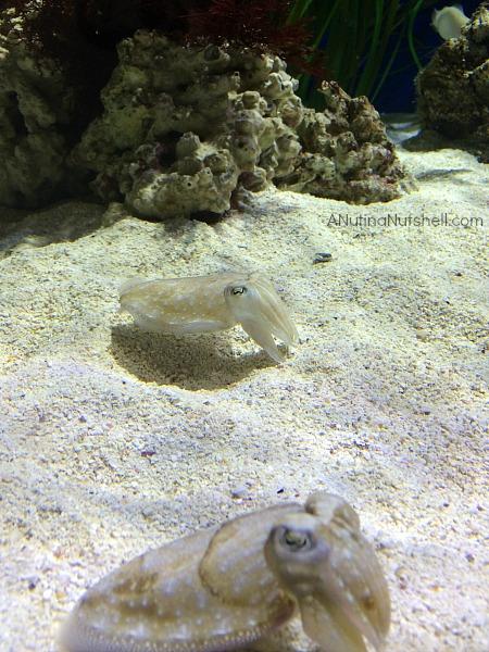 Cuttlefish - Monterey Bay Aquarium