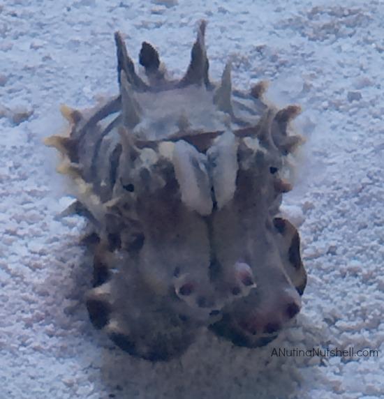 Flamboyant Cuttlefish - Monterey Bay Aquarium