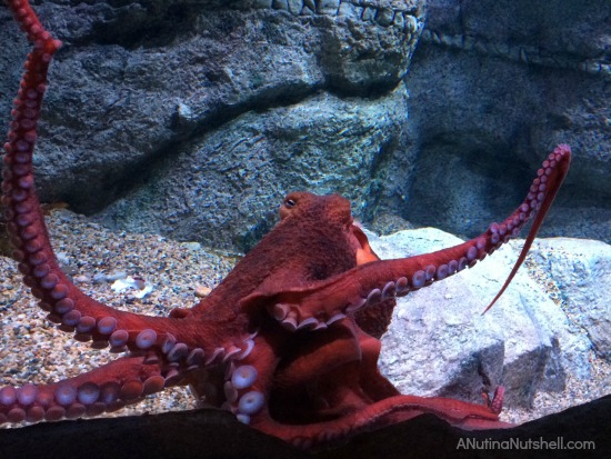 Giant Pacific Octopus - Monterey Bay Aquarium