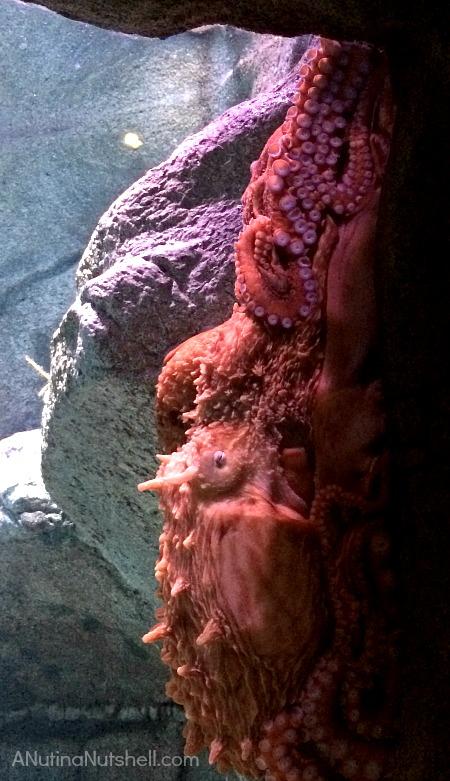 Giant_Pacific_Octopus - Monterey Bay Aquarium