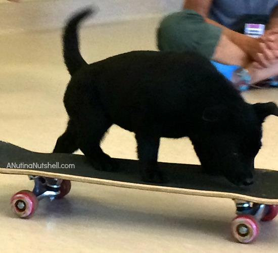 Puppy on skateboard at Puppy Preschool Best Friends Animal Sanctuary
