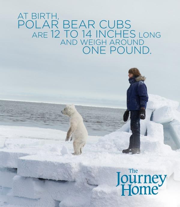 The Journey Home - polar bear cub