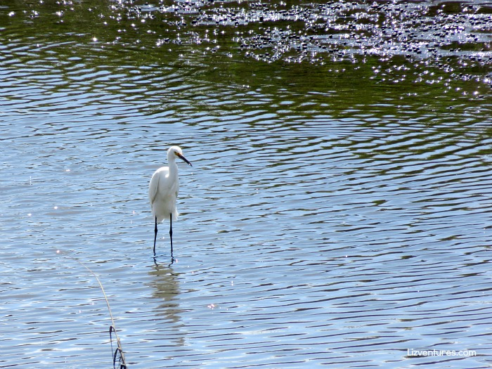 Great Egret in Mad Inlet - Bird Island NC