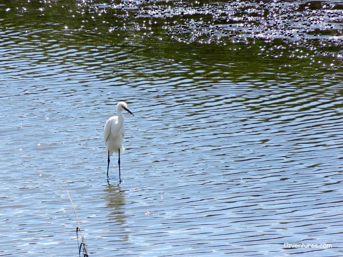 Great Egret in Mad Inlet - Bird Island NC