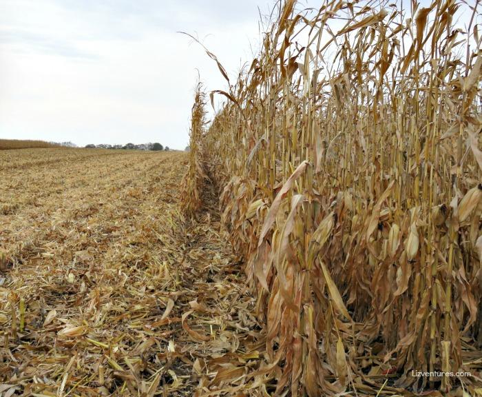 corn field during harvesting