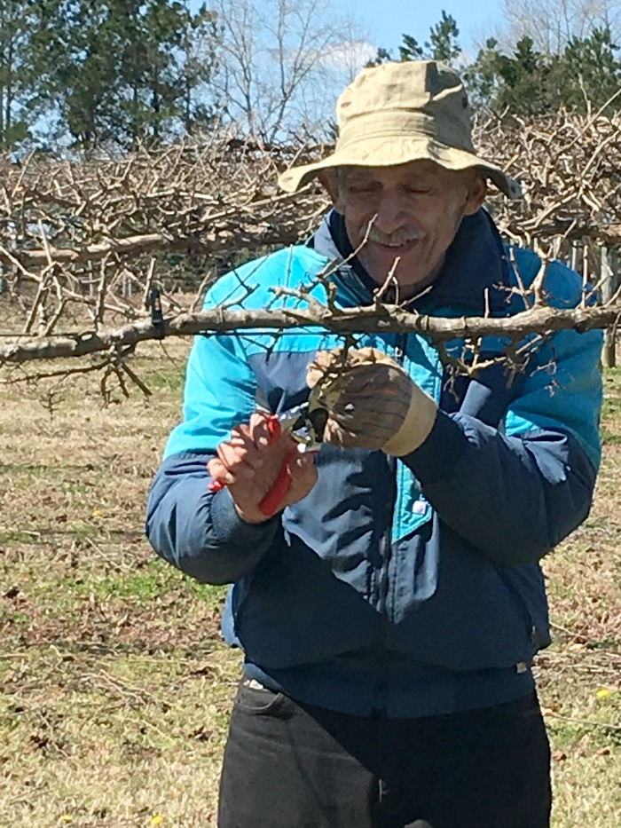 pruning vines at Gregory Vineyards - Angier NC