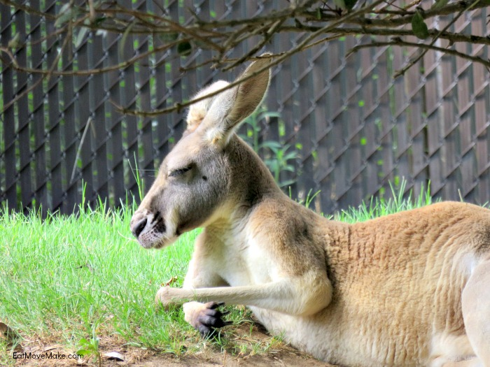 kangaroo - Riverbanks Zoo Columbia SC