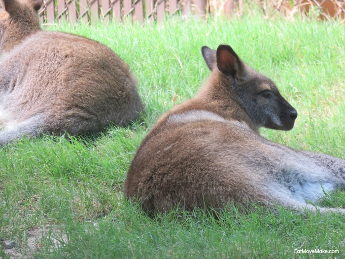 wallaby - Riverbanks Zoo Columbia SC