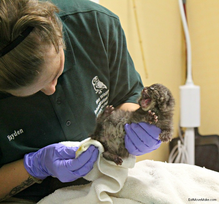 baby-bobcat-at-lees-mcrae-wildlife-rehab-center