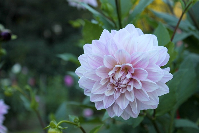 dahlia-from-dahlia-garden-at-high-hampton-inn