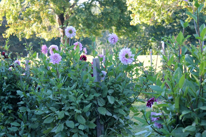 dahlias-in-the-dahlia-garden-high-hampton-inn