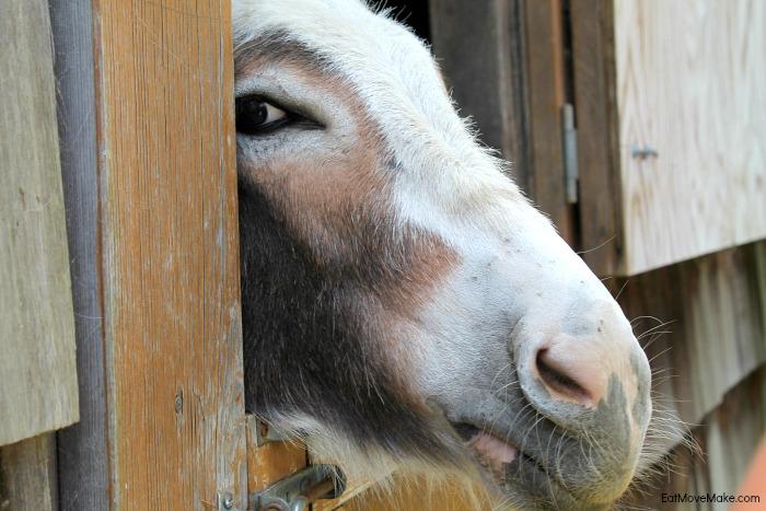 donkey-at-apple-hill-alpaca-farm-banner-elk-nc