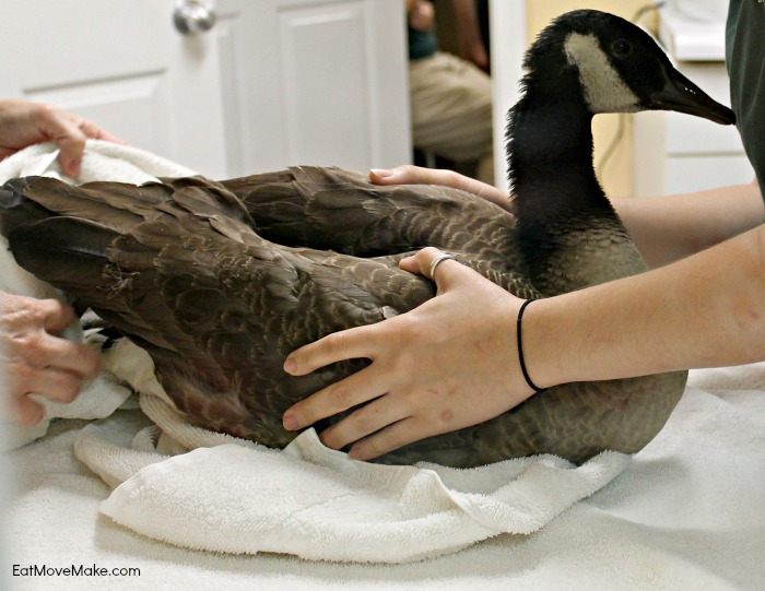 rehabilitating-a-goose-at-lees-mcrae-wildlife-rehabilitation-center-banner-elk-nc