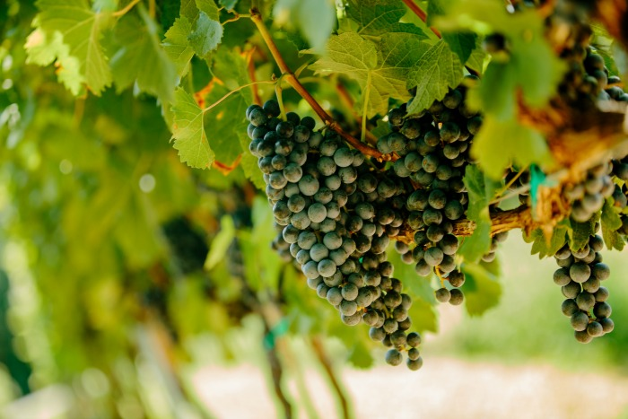 jones-von-drehle-grapes-on-the-vine