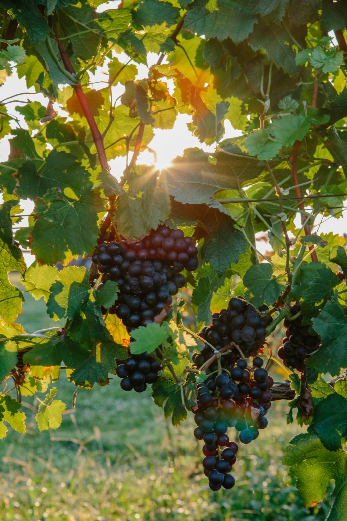 shelton-vineyards-grapes