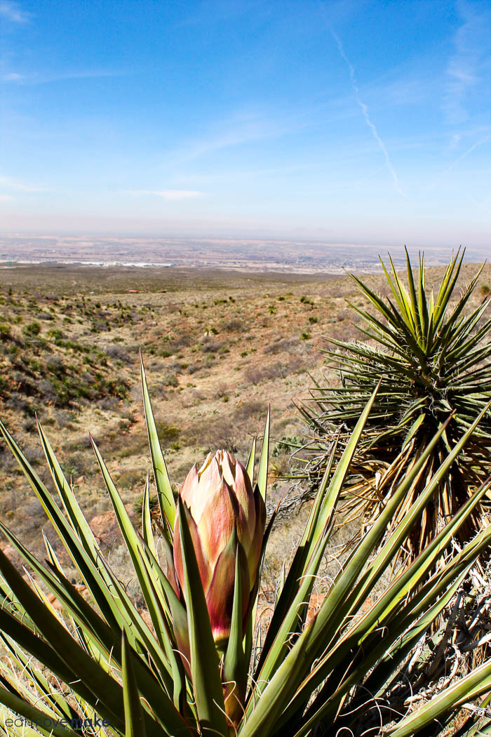 Franklin Mountains State park - yucca