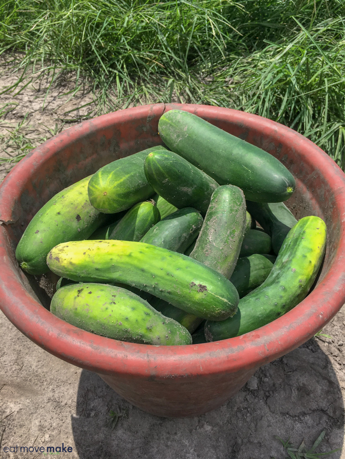 North Carolina farms - cucumbers at AJ Smith and Sons Farm