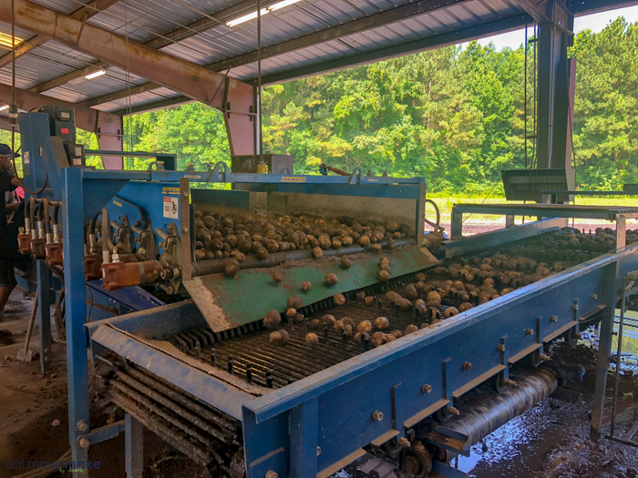 North Carolina farms - potato sorting machine