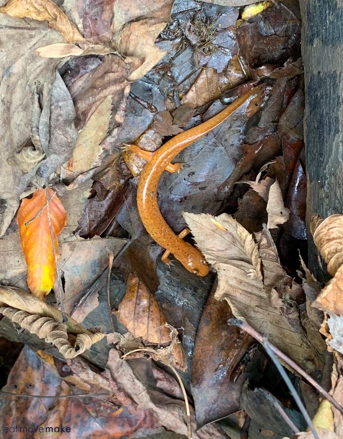 salamander by Cucumber Falls
